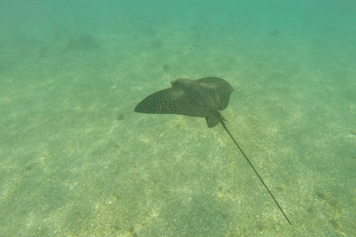 Galapagos - Sting ray, The Lava Tunnels, Isabela Island
