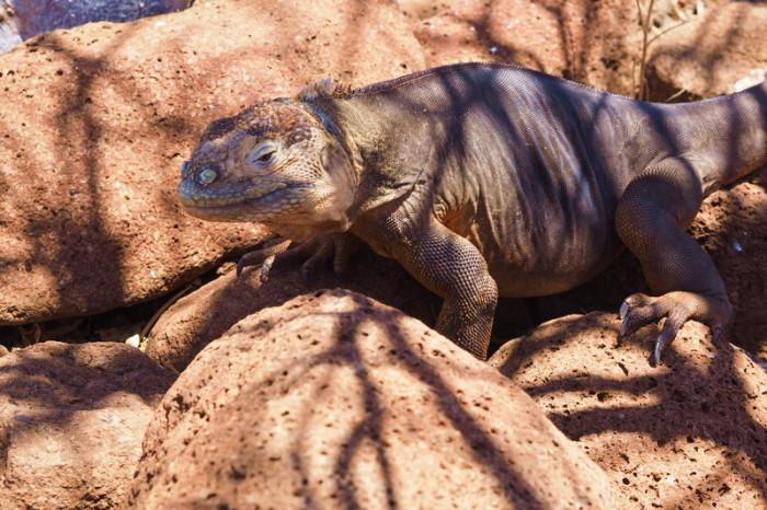 OLYMPUS DIGITAL CAMERA - Land iguana, North Seymour Island