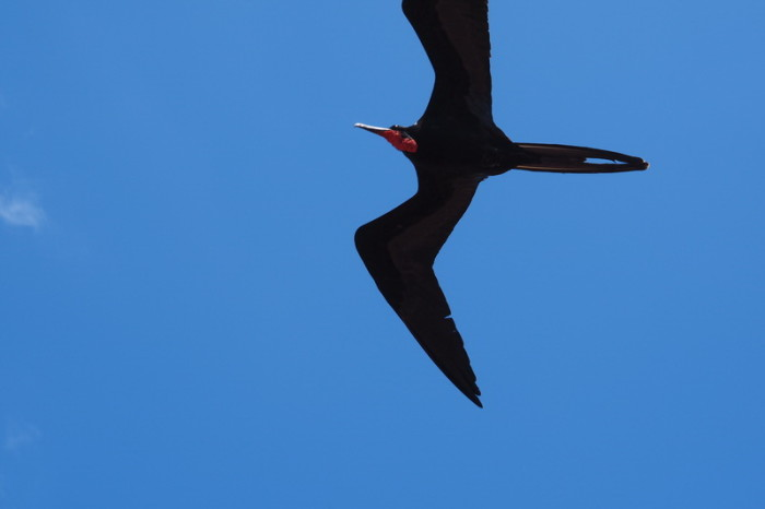 OLYMPUS DIGITAL CAMERA - Adult Frigate bird in flight, North Seymour Island