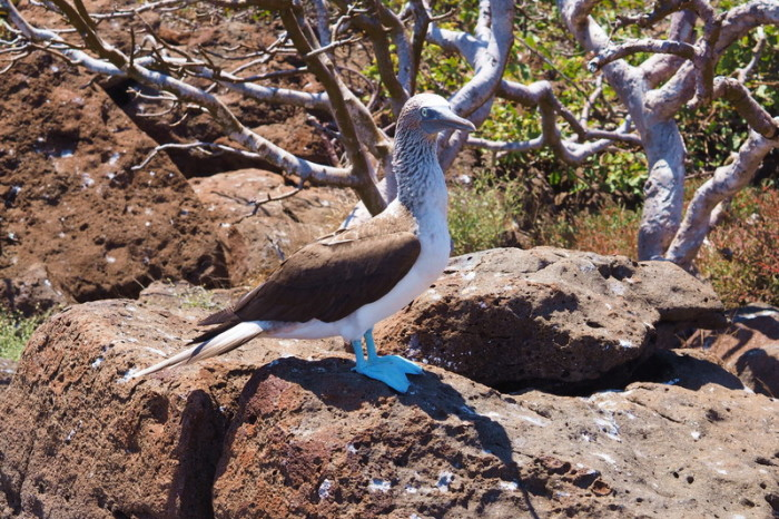 OLYMPUS DIGITAL CAMERA - Inquisitive blue footed boobie! North Seymour Island