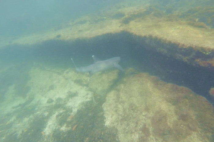 Galapagos - White tipped reef shark, Lava Tunnels, Isabela Island