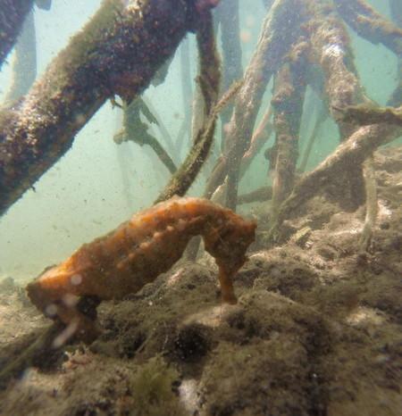 Galapagos - Pure magic!!! We saw 2 tiny sea horses nestling among the mangrove trees, Lava Tunnels, Isabela Island