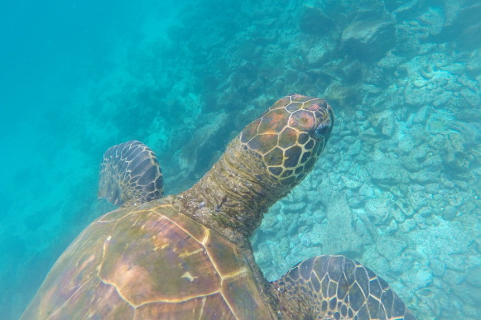 Galapagos - Another beautiful Galapagos Green Turtle! Pinzon Island