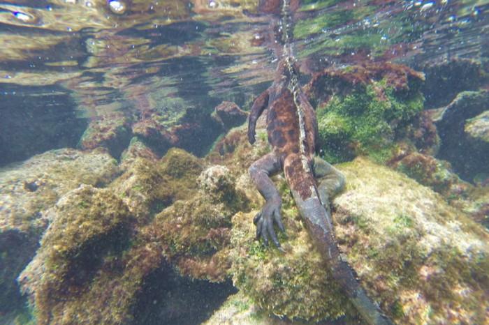 Galapagos - A marine iguana feasting on seaweed, Pinzon Island