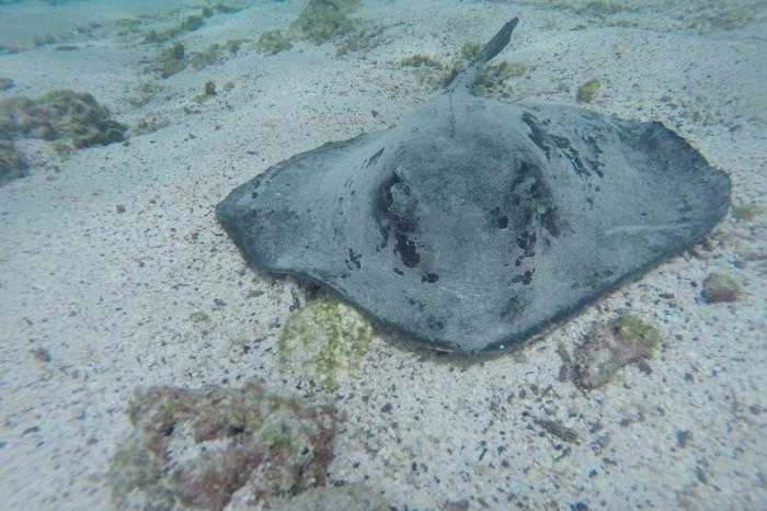 Galapagos - Sting ray! Pinzon Island
