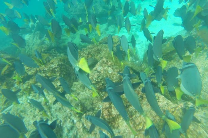 Galapagos - Schools of Galapagos reef fish, Pinzon Island