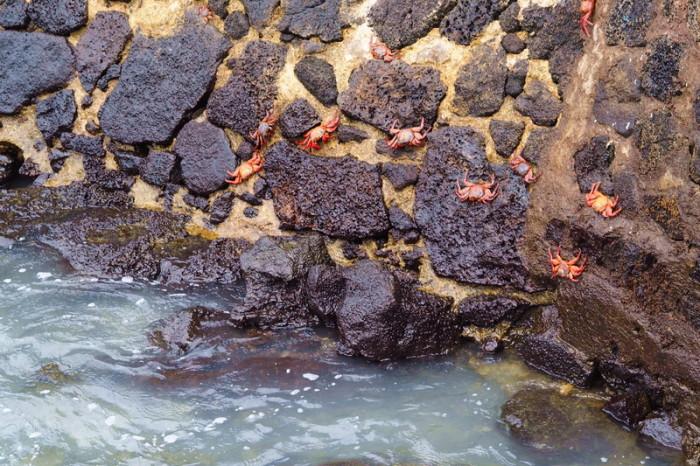 Galapagos - Galapagos red rock crabs seen in Puerto Ayora, Santa Cruz Island