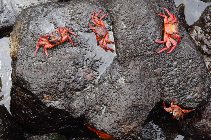 Galapagos - Galapagos red rock crabs seen in Puerto Ayora, Santa Cruz Island - they were everywhere!