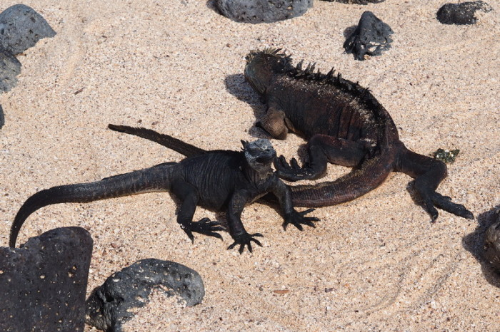 Galapagos - Marine iguanas enjoying the sun, Los Perros Beach, Santa Cruz Island