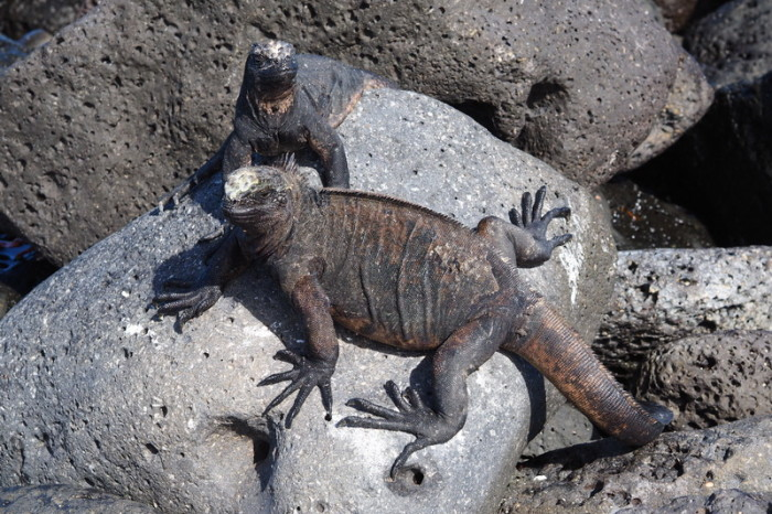 Galapagos - Marine iguanas enjoying the sun, Los Perros Beach, Santa Cruz Islan