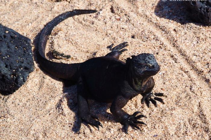 Galapagos - Marine iguana enjoying the sun, Los Perros Beach, Santa Cruz Islan