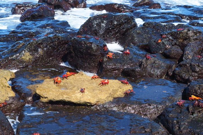 Galapagos - Stunning Galapagos red rock crabs, Los Perros Beach, Santa Cruz Island