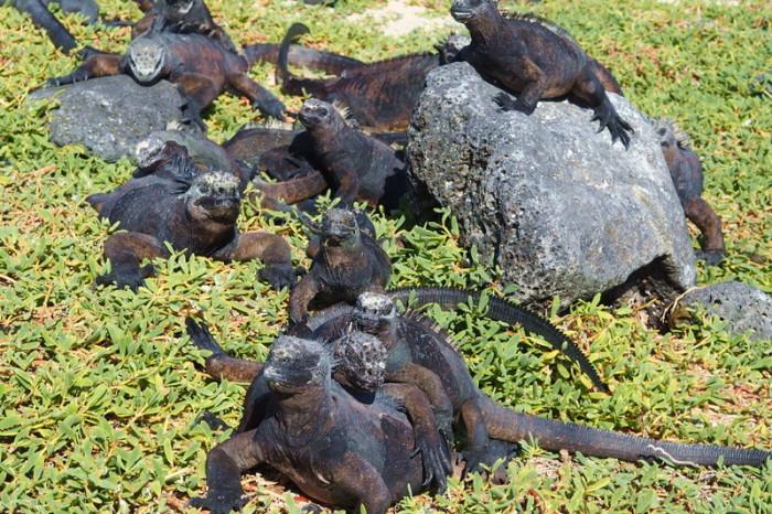 Galapagos - Galapagos Marine Iguanas, cuddling up to keep warm! Los Perros Beach, Santa Cruz Island