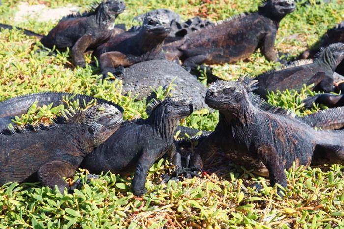 Galapagos - More Galapagos marine iguanas, Los Perros Beach, Santa Cruz Island