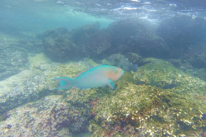 Galapagos - Parrot fish, Santiago Island