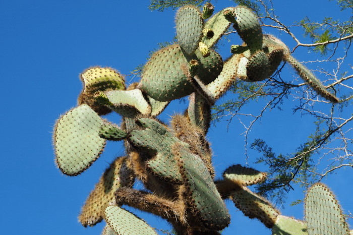 Galapagos - Opuntia echios, a cactus species endemic to the Galápagos Islands. It is commonly known as the Galápagos prickly pear, Santa Cruz Island