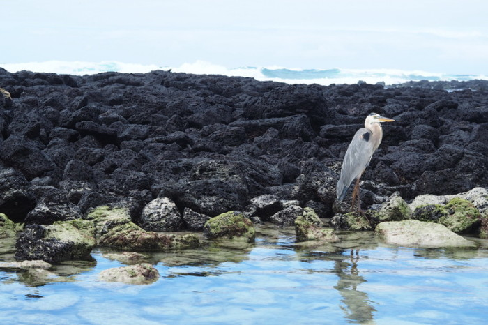Galapagos - Beautiful Great Blue Heron, Turtle Bay, Santa Cruz Island