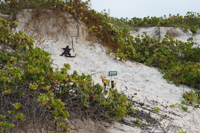 Galapagos - This marine iguana obviously didn't read the sign!