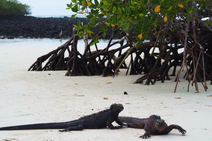Galapagos - Marine iguanas enjoying the sun, Turtle Bay, Santa Cruz Island