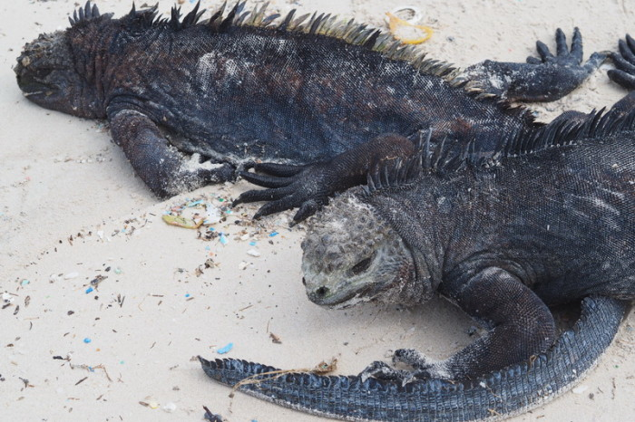 Galapagos - Marine iguanas enjoying the sun, Turtle Bay, Santa Cruz Island