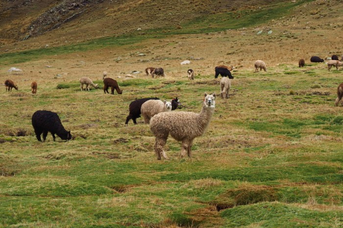 Peru -  We passed herds of alpacas on our way to the reserve — at Nor Yauyos-Cochas Landscape Reserve