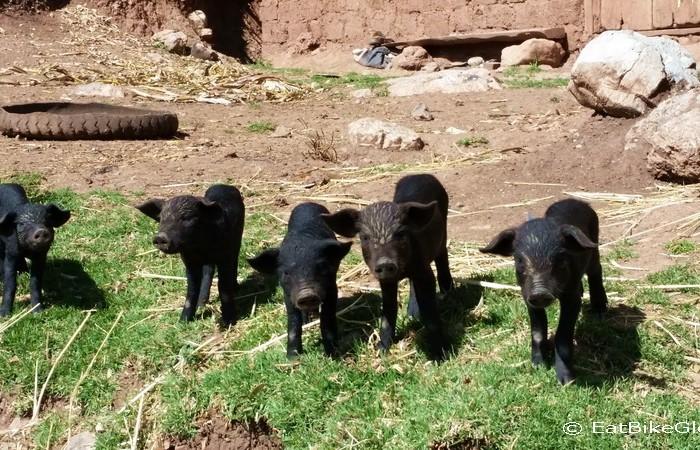Peru - Piglets!