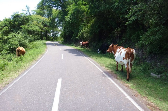 Argentina - We were constantly dodging animals on Highway 9 ... this time cows!