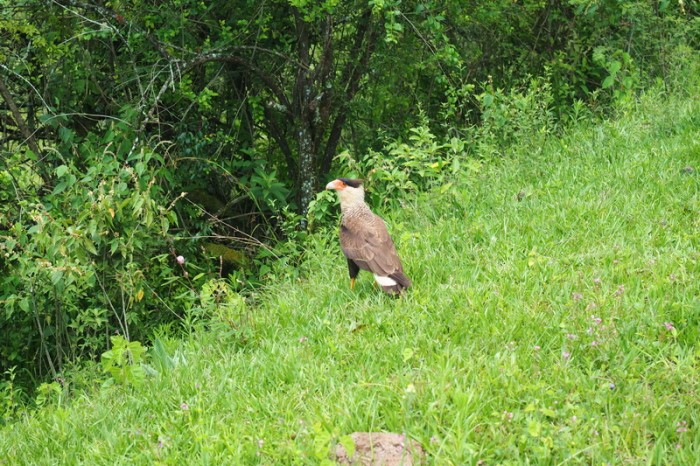 Argentina - Gorgeous hawk/falcon on the way to Salta