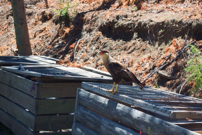 Argentina - These beautiful hawks were everywhere along the Circuito Chico, Bariloche