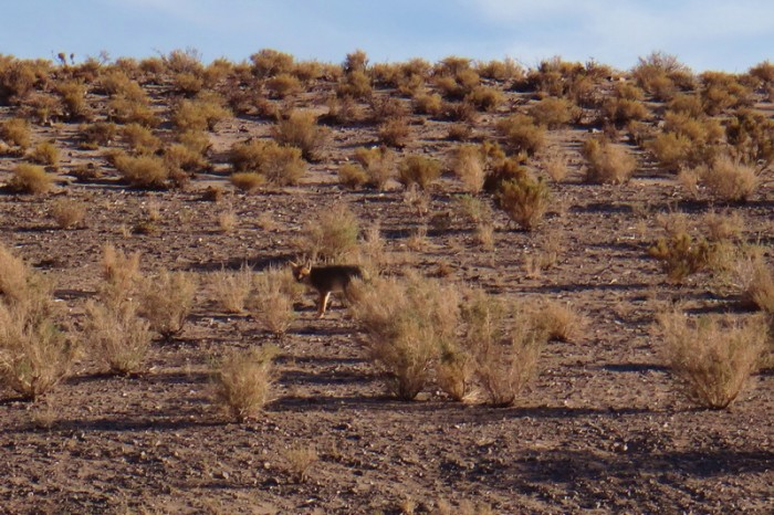 Argentina - Fox, near the Salinas Grandes