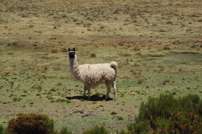 Bolivia - LLamas on the way to Huachacalla