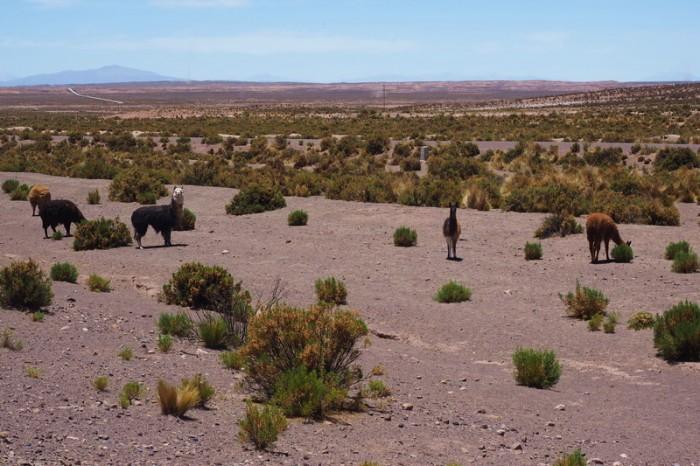 Bolivia - Alpacas!