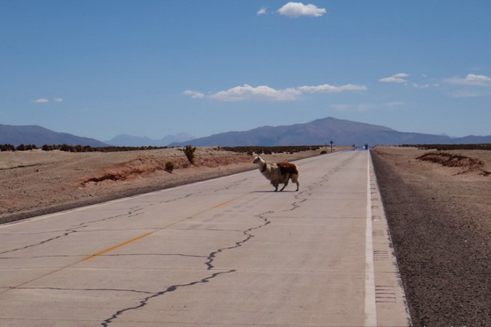 Bolivia - Alpaca crossing!