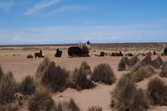 Bolivia - Herd of Alpacas