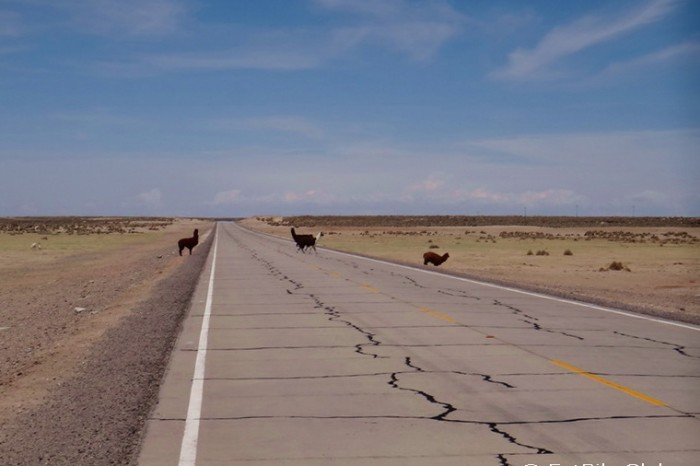 Bolivia - More alpacas crossing the road!
