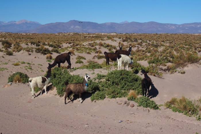 Bolivia - The sand dunes were popular with the local llamas