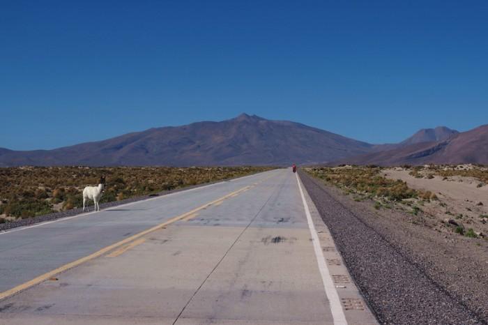 Bolivia - Llama crossing!
