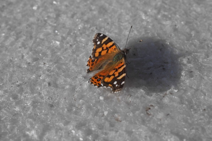 Bolivia - There were butterflies on the salar!