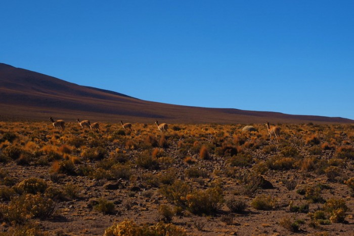 Bolivia - Day 2 of the Laguna Route: Vicunas at the top of the 10km climb