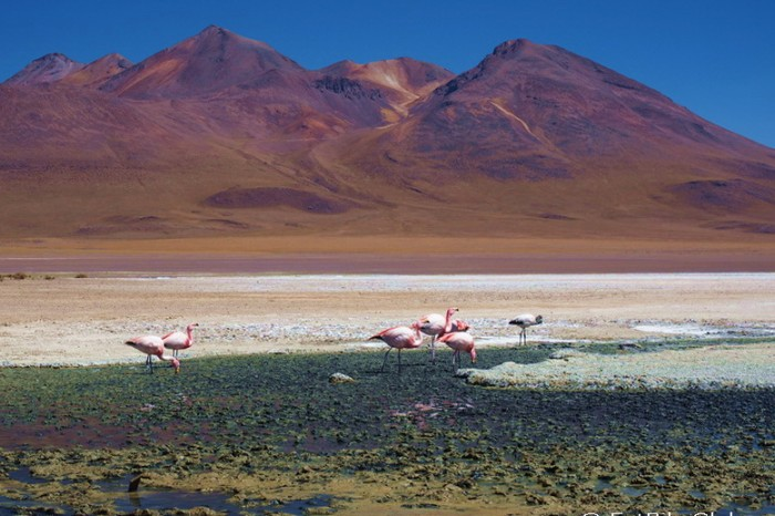 Bolivia - Day 2 of the Laguna Route: Flamingos at Laguna Canapa