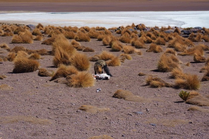 Bolivia - Day 2 of the Laguna Route: This crafty fox caught a flamingo!