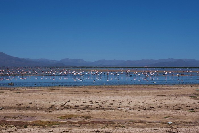 Bolivia - Lagu Uru Uru with flamingos, near Oruro