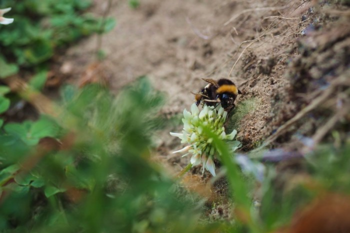 Chile - Bumble bees were everywhere!
