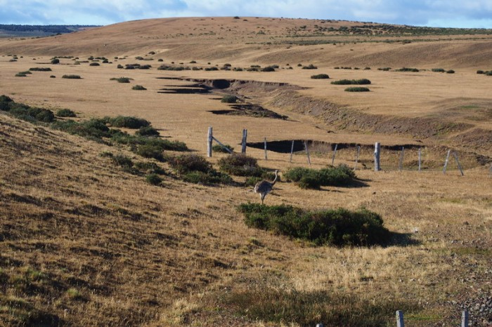 Chile  - We saw rheas on our way to Punta Arenas