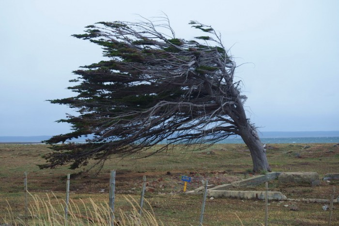 Chile - Wind swept tree on our way to the border and San Sebastian