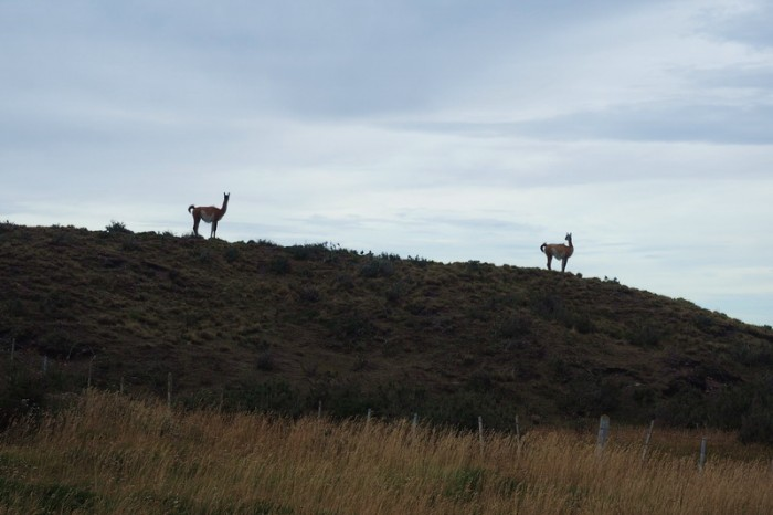 Chile - Guanacos on our way to the border