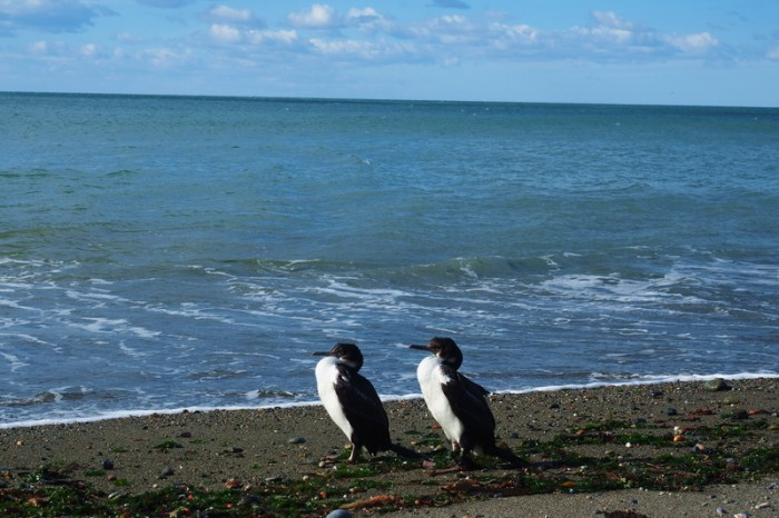 Argentina  - Birds near the colony of migratory Rockhopper Penguins