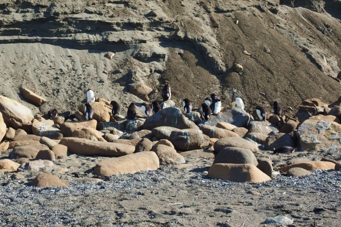 Argentina  - A colony of migratory Rockhopper Penguins