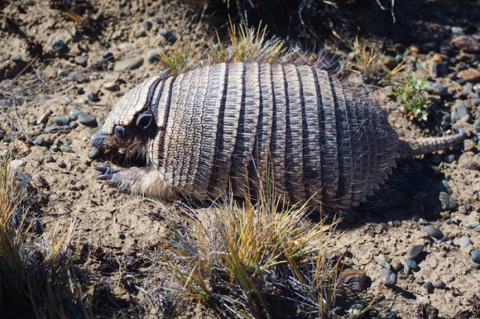 Argentina - We found this cute little armadillo
